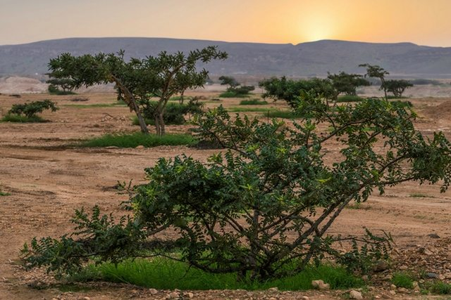 Young Living Arabian Frankincense Distillery