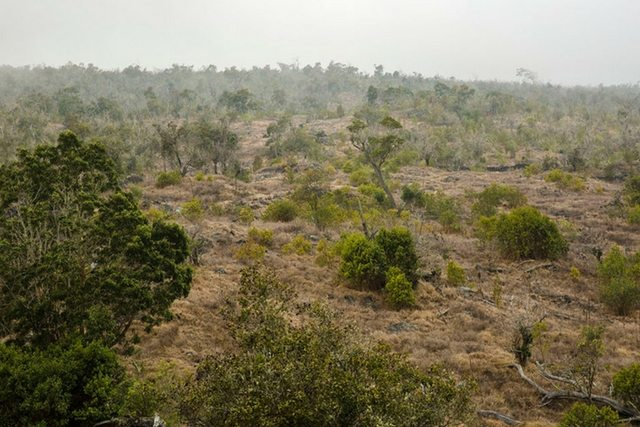 Young Living Kona Sandalwood Reforestation Project
