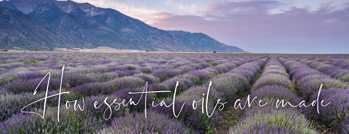 How essential oils are made with a backdrop of a lavender field