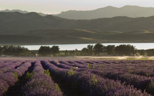 lavender field and reservoir in late afternoon light