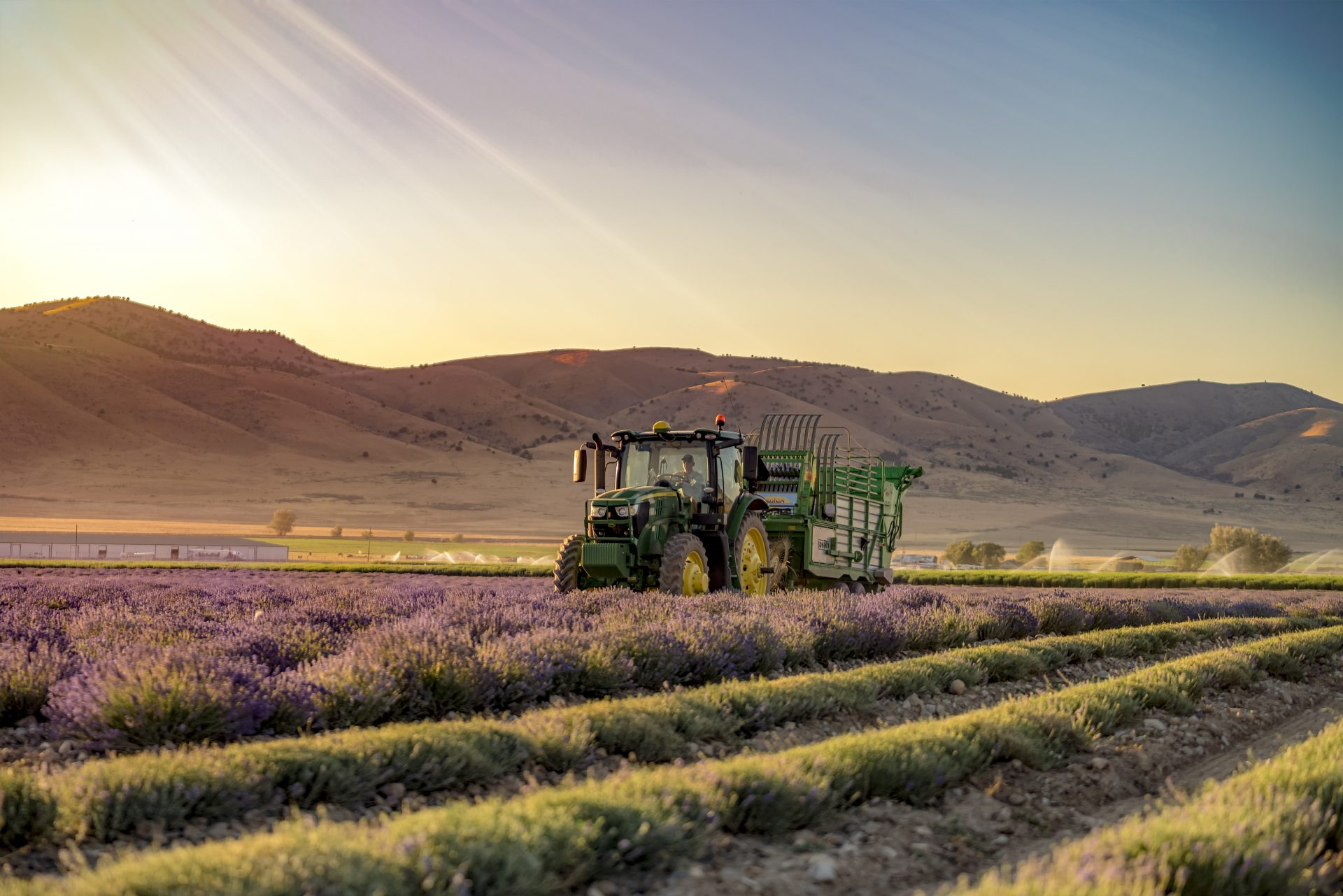 Lavender Harvesting-Farm facts: Quality essential oils from the ground up-Young Living Lavender Life Blog