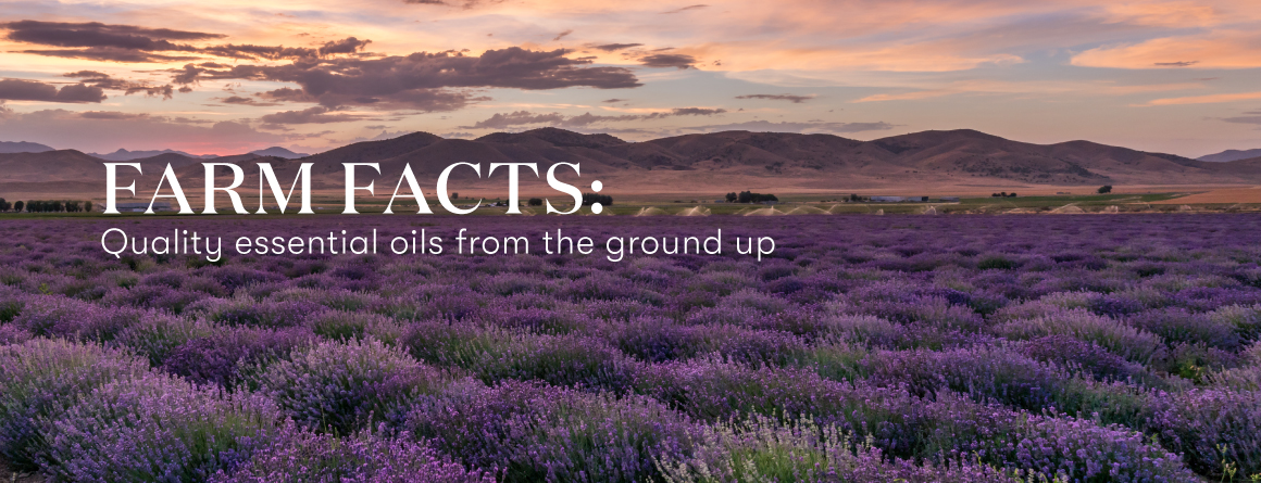 Young Living Essential Oils Lavender Life Blog-Farm facts: Quality essential oils from the ground up